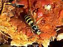 Eastern yellowjacket worker feeding on a crushed crab apple - Vespula maculifrons - female