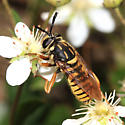 Syrphid Fly - Sphecomyia vittata - male