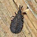 Flat Bug - Quilnus niger