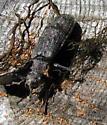 Beetle - Priacma serrata