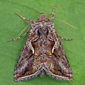 Rubida Looper Moth - Autographa rubidus