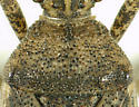 Ceraleptus americanus - female