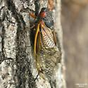 Brood XIX Periodic Cicada - Magicicada