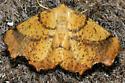 Yellow Moth - Ennomos magnaria