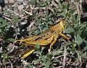 Golden Grasshopper - Schistocerca americana - male