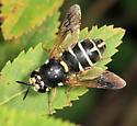 Stratiomyid - Stratiomys badia - female