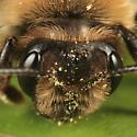 bee - Andrena regularis