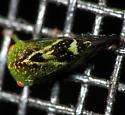 Green Treehopper - Atymna helena