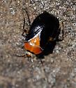 bug - Neocapsus cuneatus