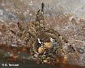Araneus saevus? - Araneus saevus - female