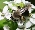 Andrena ID Request - Andrena carlini - female