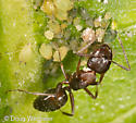 ant with aphids - Camponotus nearcticus - female