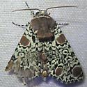 Harris's Three Spot - Hodges#9286 - Harrisimemna trisignata