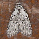 Moth IMG_8021 - Meganola