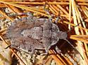 Rough Stink Bug - Brochymena punctata