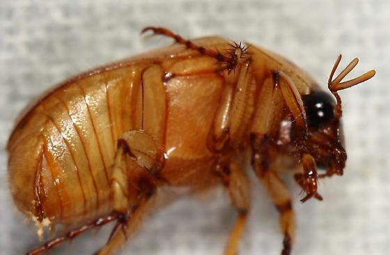 scarab, possibly Cyclocephala lurida - Cyclocephala