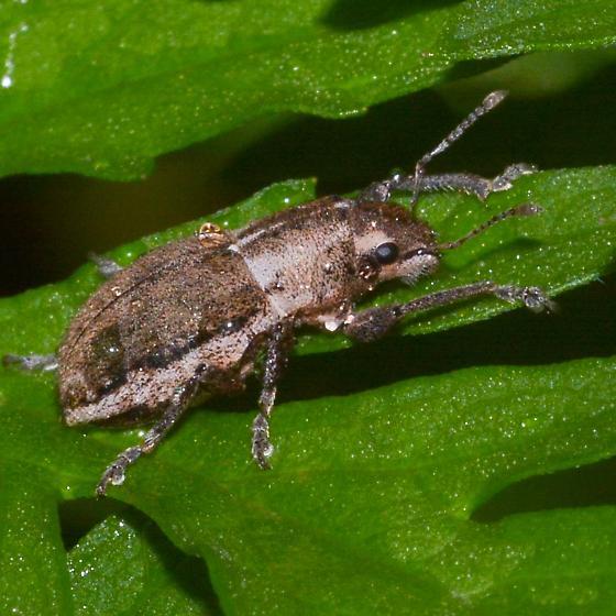 brown weevil? - Naupactus