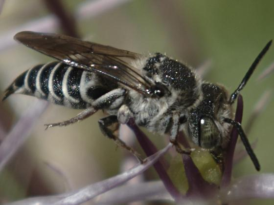 Bee with black and white, conical abdomen - Coelioxys - female