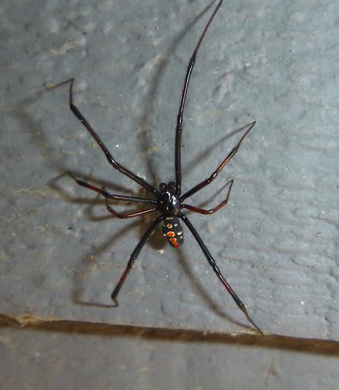 Black widow - male?  Latrodectus mactans or Latrodectus variolus? - Latrodectus