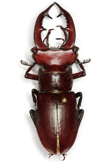 Lucanus elaphus Fabricius - Lucanus elaphus - male
