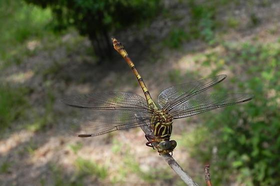 TX Dragonfly species? - Aphylla angustifolia