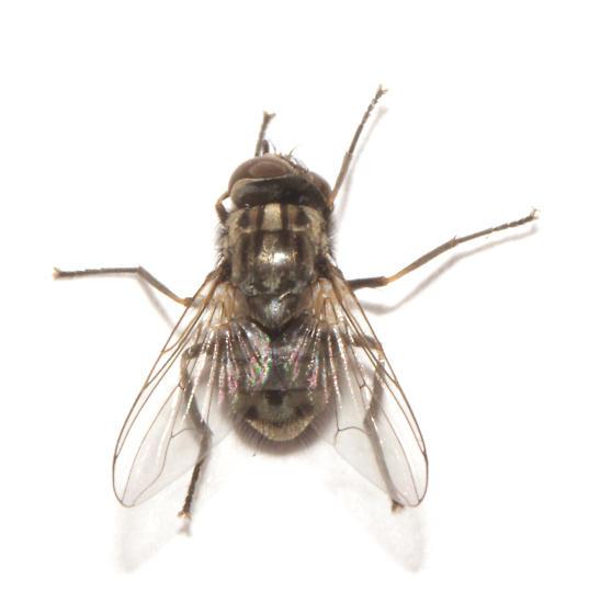 Muscidae, Stable Fly, dorsal - Stomoxys calcitrans