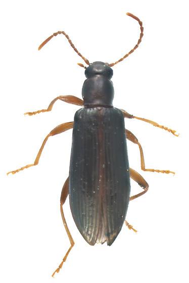 Tenebrionidae, dorsal - Statira