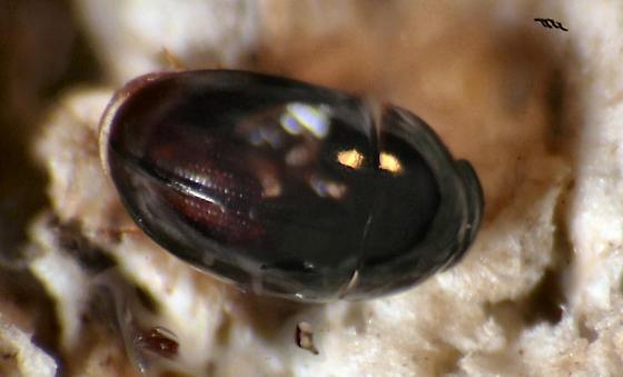 LRB - Little Round Beetle - Acylomus