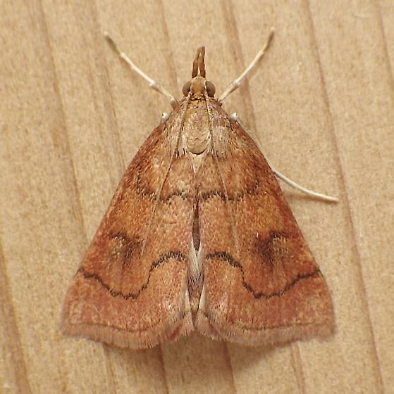 Crambidae: Fumibotys fumalis - Fumibotys fumalis
