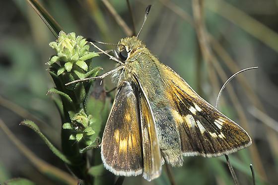 Leonard's (Pawnee) Skipper - Hesperia leonardus - female