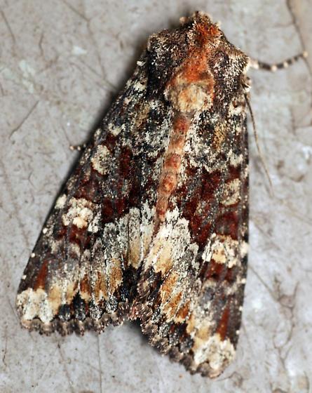 yellow-headed cutworm moth - Apamea amputatrix
