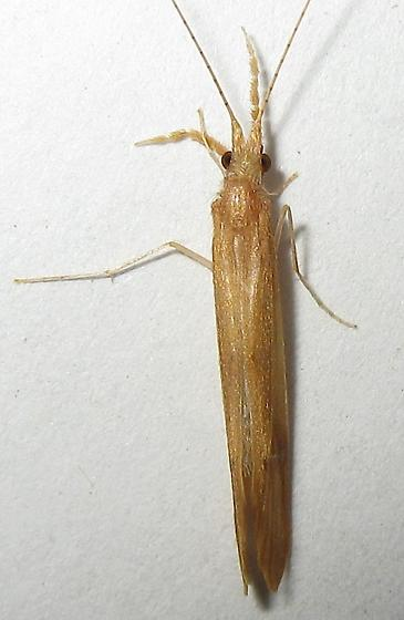Caddisfly - Triaenodes tardus - male