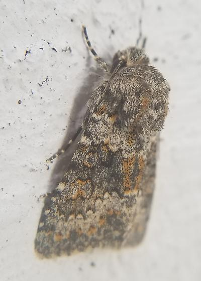 Moth with orange highlights - Hecatera dysodea