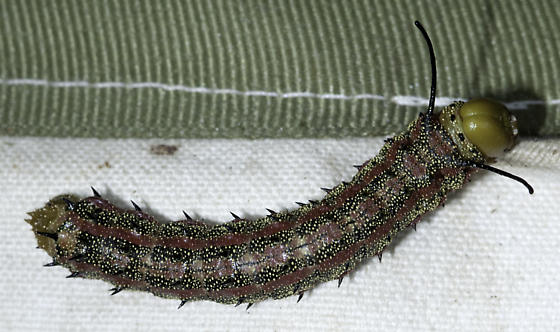 oakworm - Anisota virginiensis