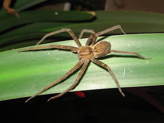 Spider ID? - Tinus peregrinus