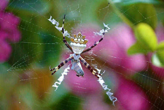 Regal Looking Spider - Argiope argentata - female