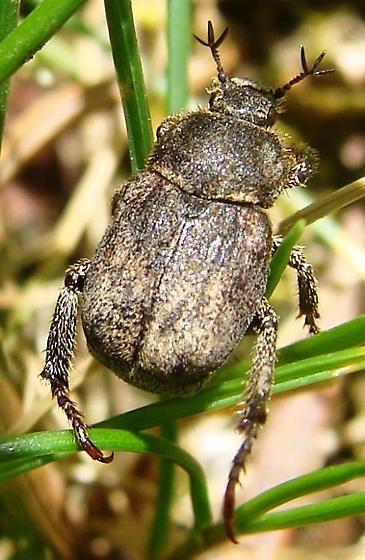 Scarab beetle - Hoplia