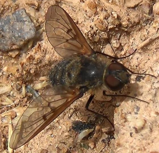 Bee Fly with incomplete crossveins - Anthrax larrea