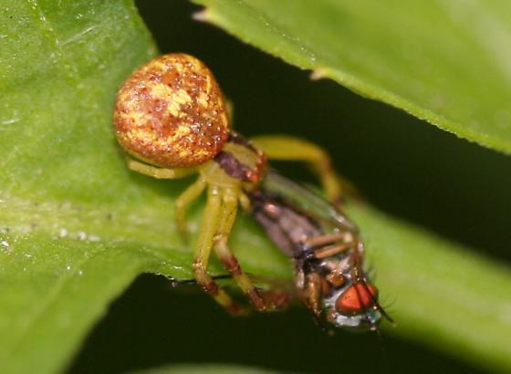 Misumenopsceler (Crab Spider) - Mecaphesa