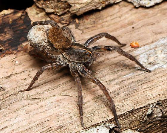 large Lycosidae with egg clutch - Tigrosa - female