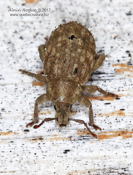 Curculionidae - Romualdius scaber