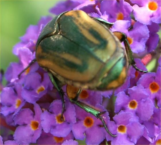 Beetle on butterfly bush. - Cotinis nitida