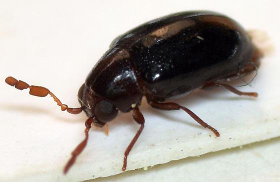 death-watch beetle - Calymmaderus nitidus