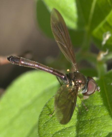 A fly masquerading as a dragonfly? - Ocyptamus fuscipennis
