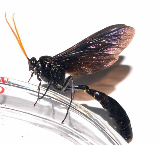 Unknown Ichneumon - Thyreodon atricolor