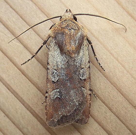 Noctuidae: Euxoa basalis - Euxoa basalis