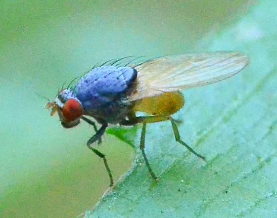 bluish muscid fly - Minettia lupulina