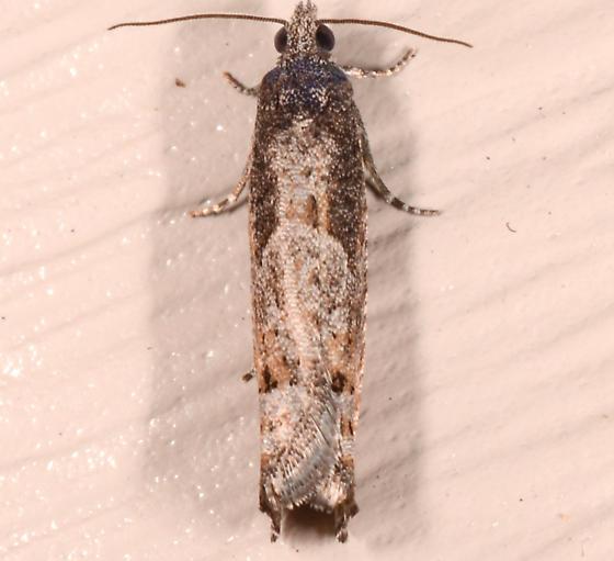 small moth - Pseudexentera