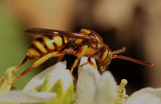 bee on flower - Nomada imbricata