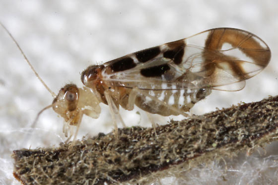 Psyllidae ? - Graphopsocus cruciatus